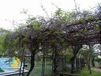 江津湖公園 藤の花.jpg