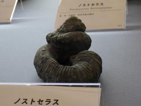 大阪市立自然史博物館2017年4月下旬25 ノストセラスの化石