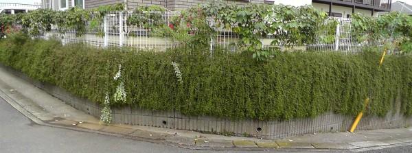 壁面緑化 ムベ クラピアS1(イワダレソウ) ヘデラ チェリーセージ