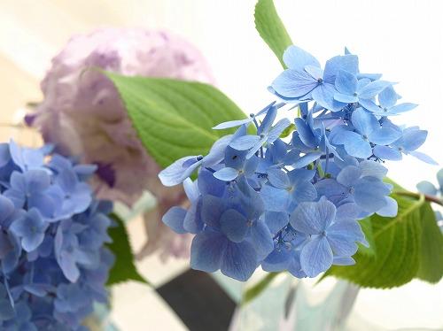 H24.6-blue紫陽花.jpg