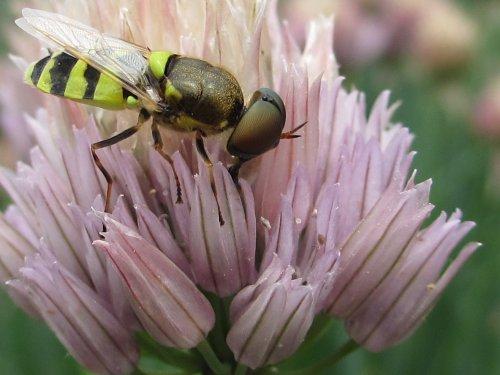 チャイブの花で食事中のコガタノミズアブ:オス(6月)