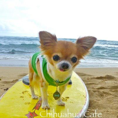 ハワイのチワワはサーフィンもするぜwon