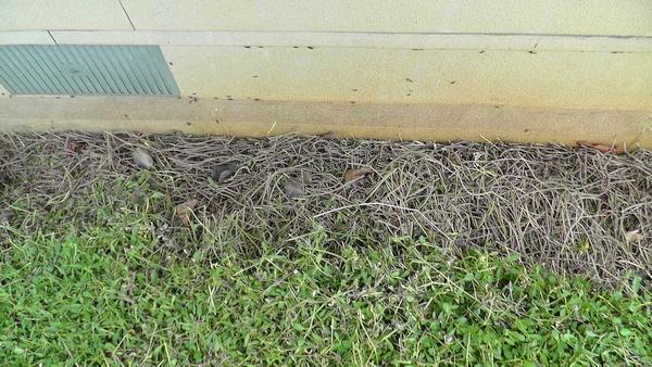 南側の壁際 イワダレソウの茎だらけ