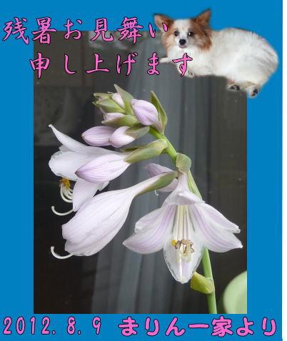 2012残暑見舞い_まりんママさん