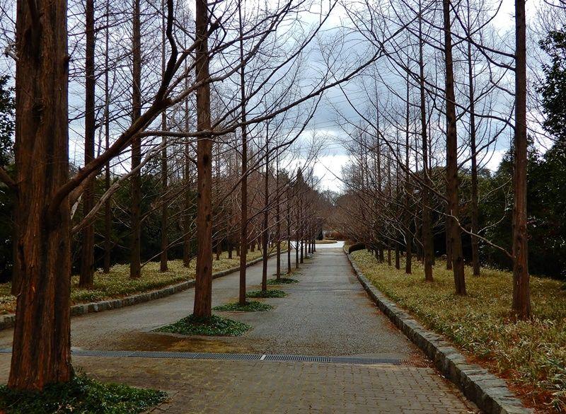 メタセコイア並木9