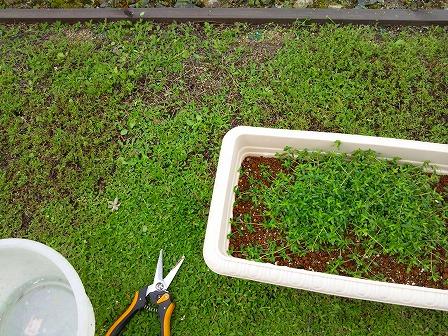 鉢植えのタイムが大きくなったので庭に定植しました1