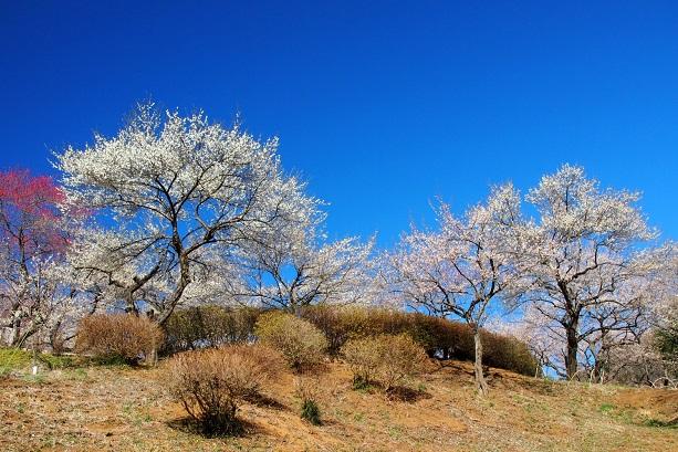 2.白梅の丘.JPG