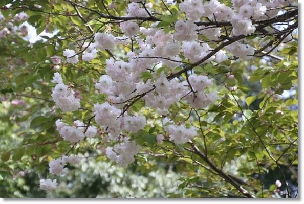 樹木公園-16 一葉-2 16.4.20
