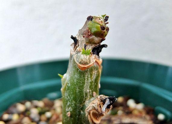 プルメリア ベランダ 花 鉢