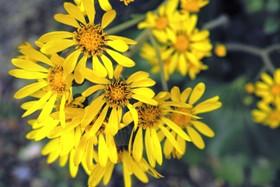 黄色花.JPG