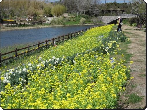 水面と菜の花2-2.jpg