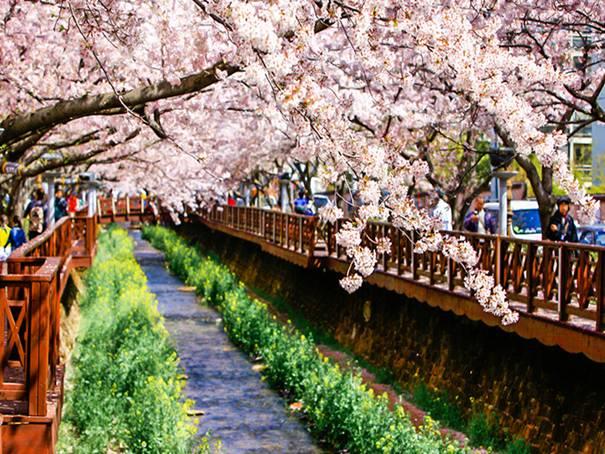 韓国旅行、桜