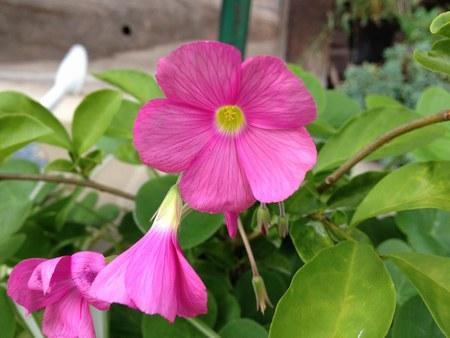 1花ピンク4503.jpg