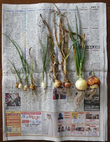 2010年収穫玉ねぎ