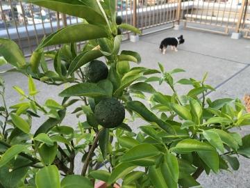 160806自家製柚子