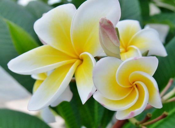 プルメリア ベランダ 鉢 花 開花 レモンサンセット