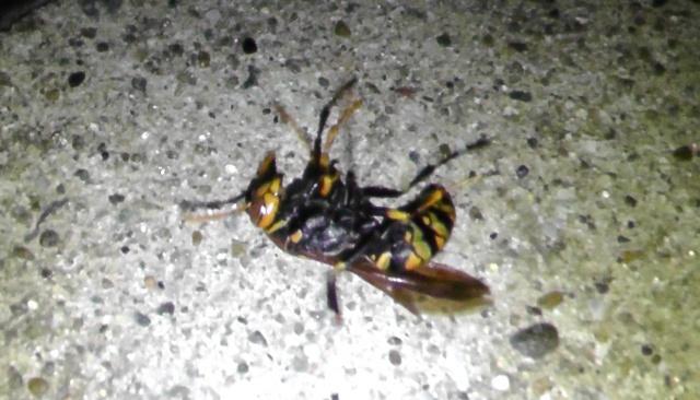 ゴキブリ用殺虫剤で駆除されたアシナガバチ
