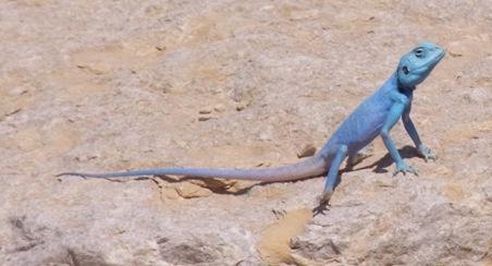 ダーナの青トカゲ
