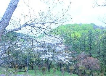 厚沢部桜 木の新芽 窓から.jpg