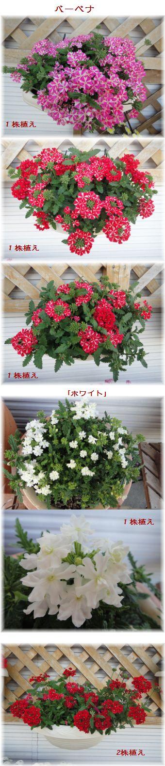 バーベナ花盛り