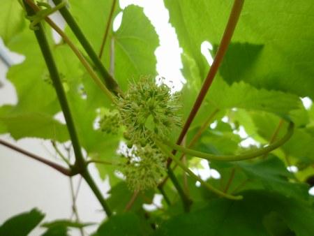 2葡萄花咲き 4501jpg.jpg