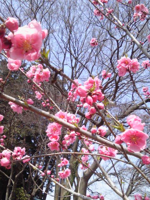 徳源院跡前の花桃