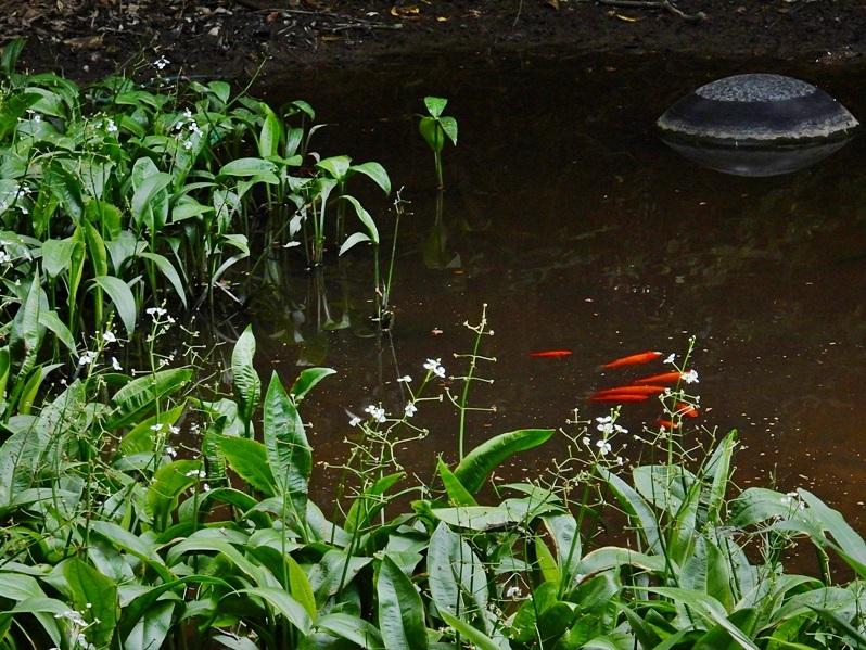 ヤマの池1.JPG