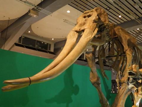恐竜展2017巨大化の謎にせまる32 コウガゾウの全身骨格