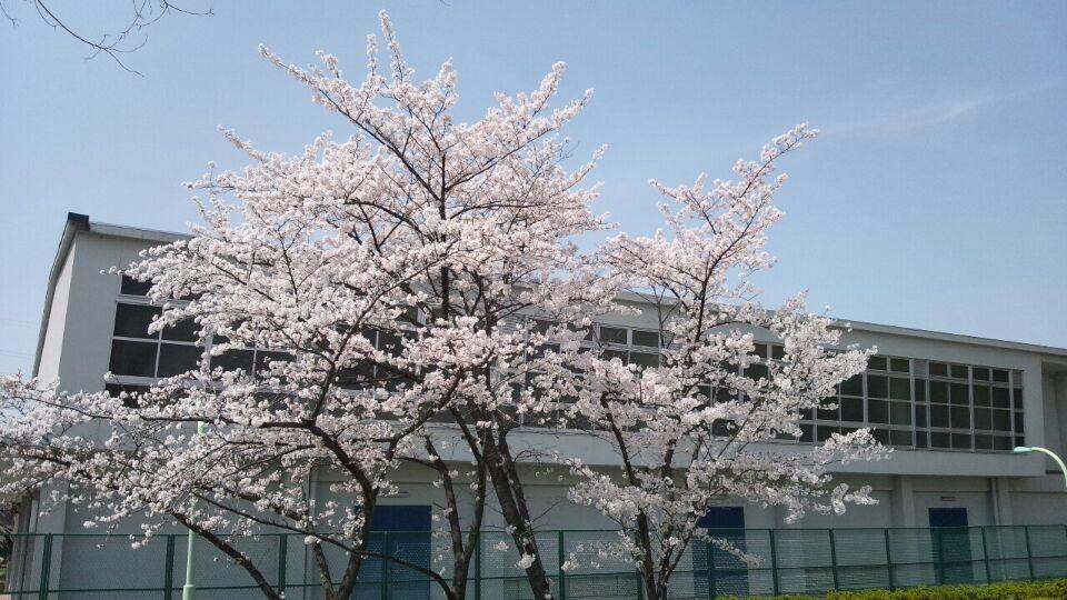 0330 自宅前桜2