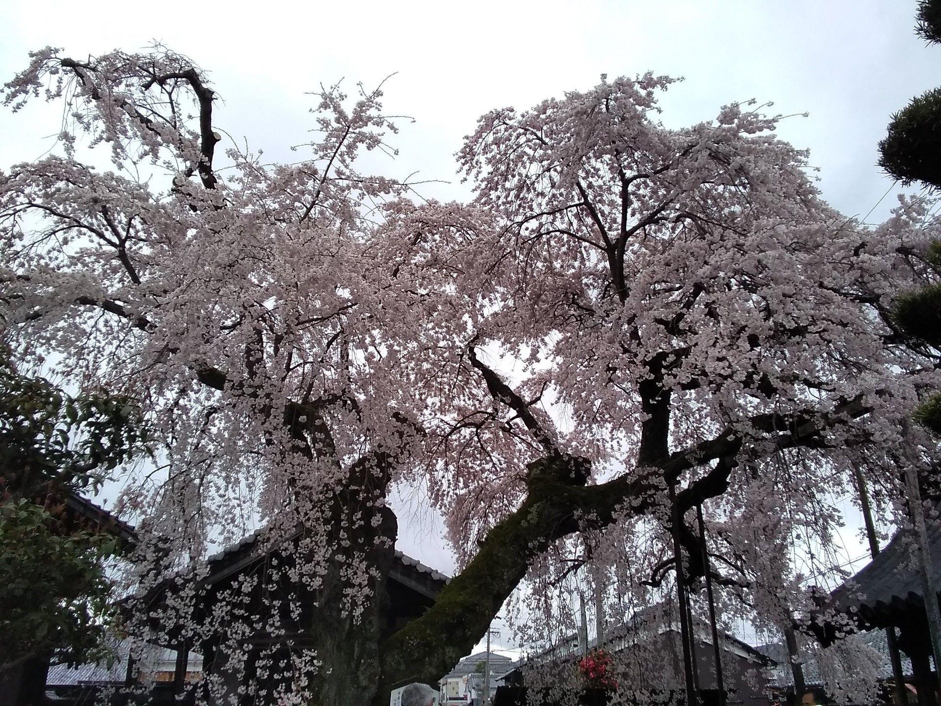 桜の 咲き が ぺんぺん草 の まし たよ 花
