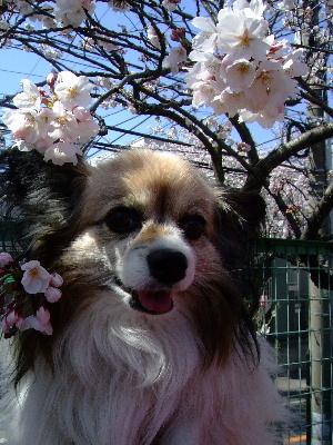 2012桜祭り6.JPG