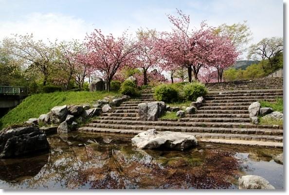 パーク獅子吼-6 水に写る八重桜 16.4.20