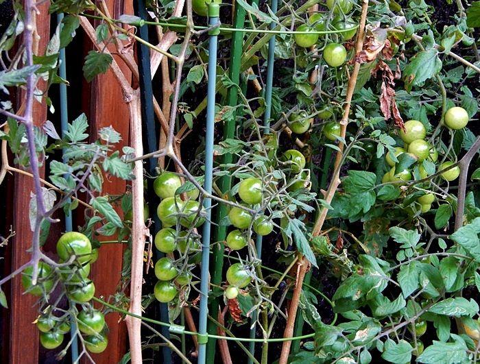 トマトの鉢2