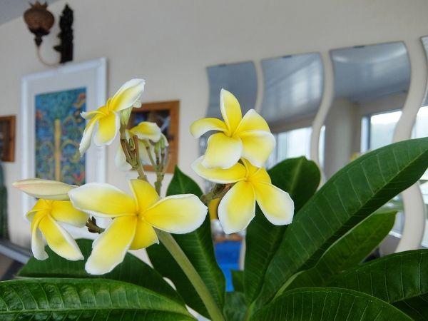 プルメリア ABCストア ハワイ