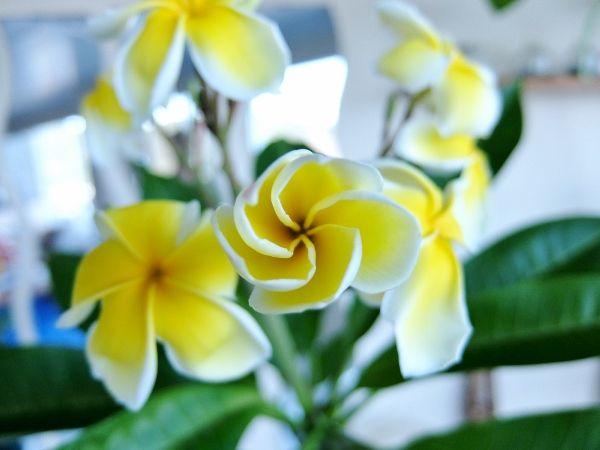 プルメリア プラチナ ホワイト
