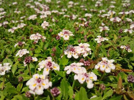ヒメイワダレソウも花をつけ始めました3