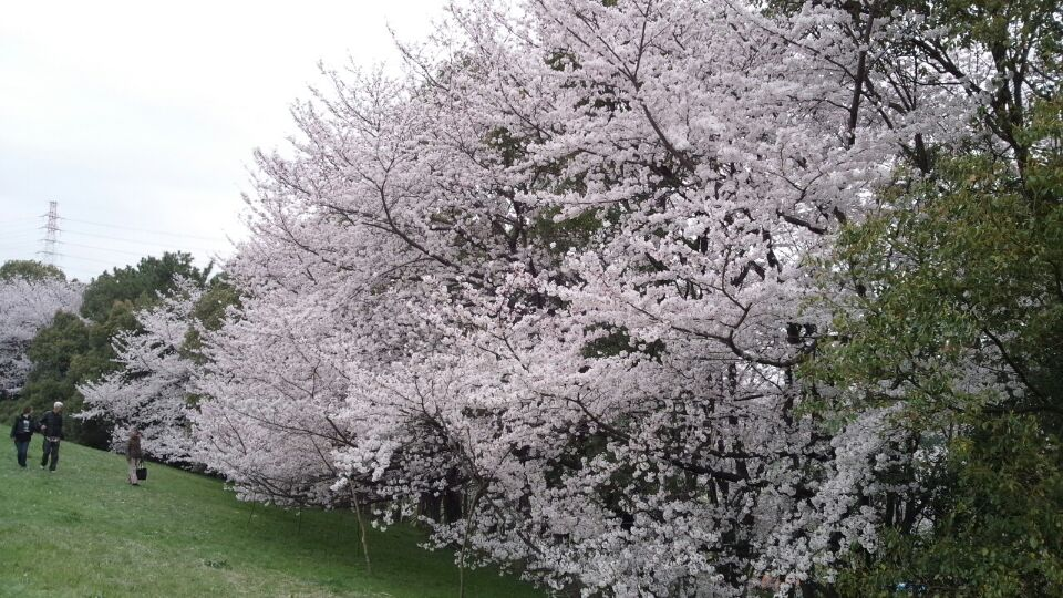 0330 大泉緑地桜2
