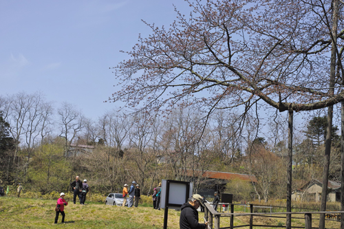 13皆さんと桜.jpg