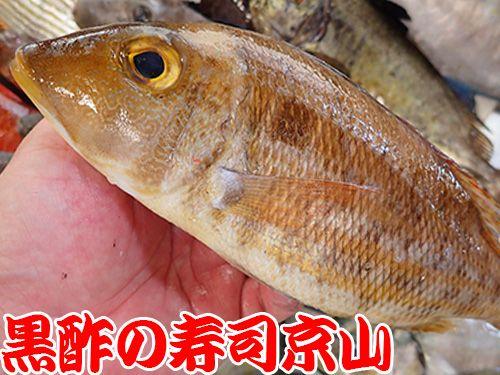 ホソフエフキ 寿司 出前 未利用魚
