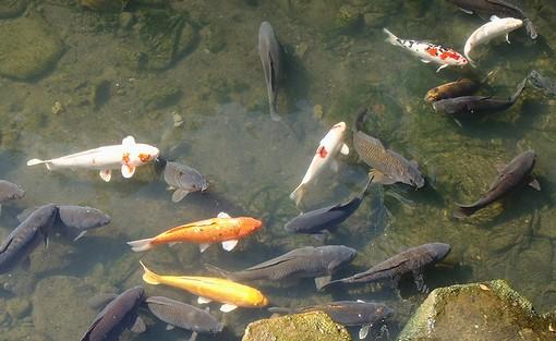 20130203 侍従川の鯉