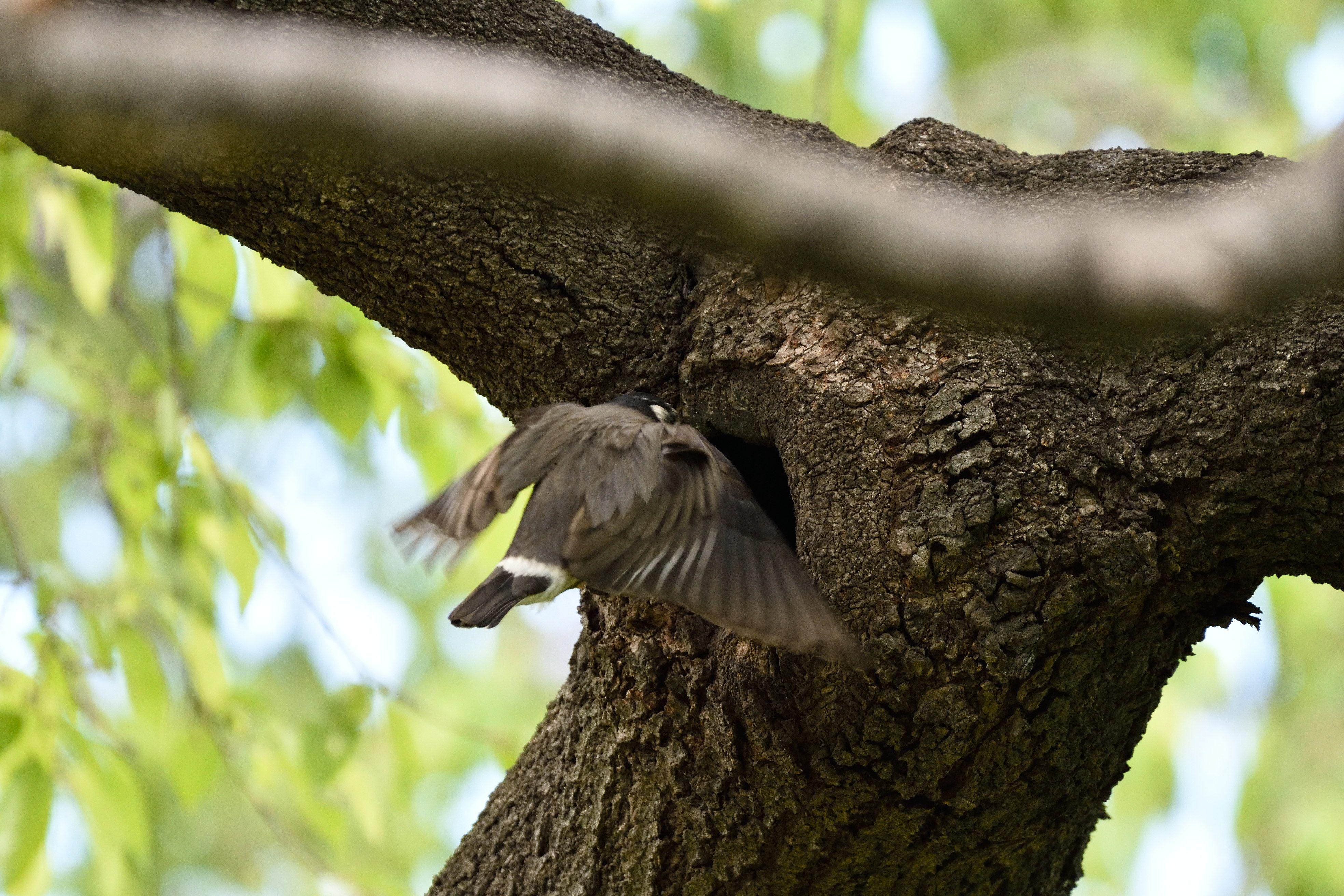 餌を巣に運び入れるムクドリ   花鳥風枝 - 楽天ブログ