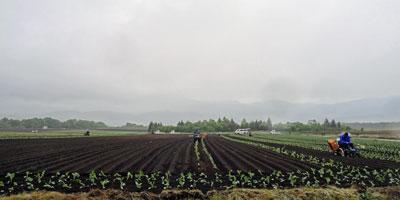 キャベツ畑2016.5.28.2
