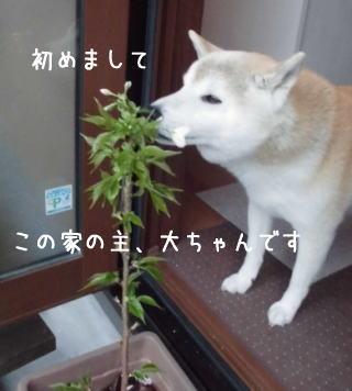0411子孫sakura2.jpg
