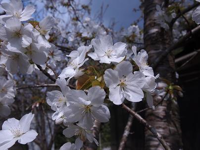 2012年4月  満開に近づく.JPG