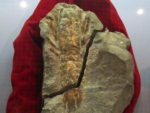 大阪市立自然史博物館2017年4月下旬27 リヌパルス(エビ)の化石