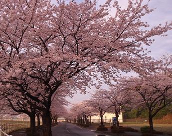 桜風景3.jpg