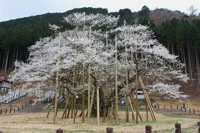 岐阜県 根尾淡墨桜