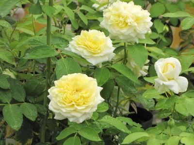お気に入りのバラ「快挙」、花保ち最高、香りも!   バラ作り30年300万 ...