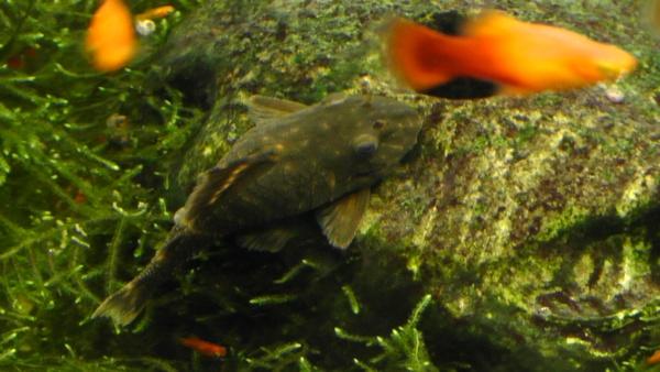 Plecostomus,プレコ,Platy fish,プラティ,水槽