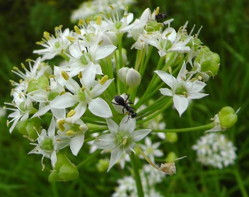 ニラの花と虫